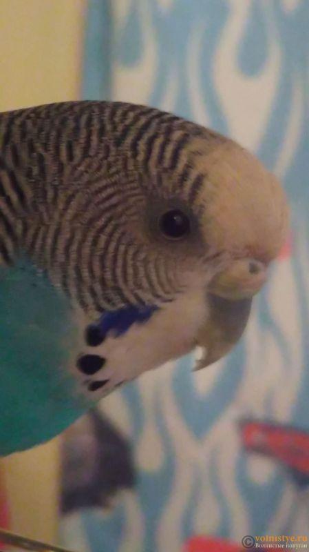 Попугай закрывает глаз и прищуривает - IMAG0324.jpg