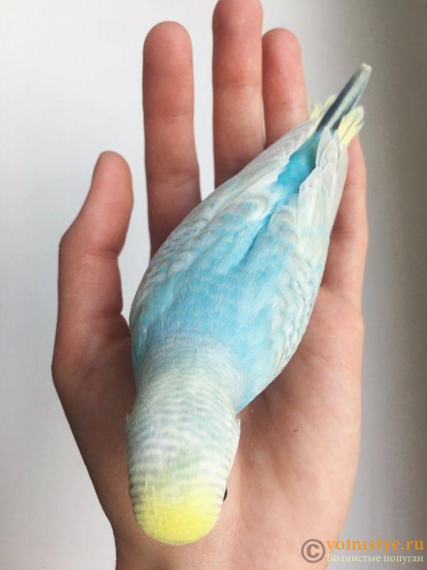 Птенцы волнистого попугая (Москва) - IMG_1181.jpg