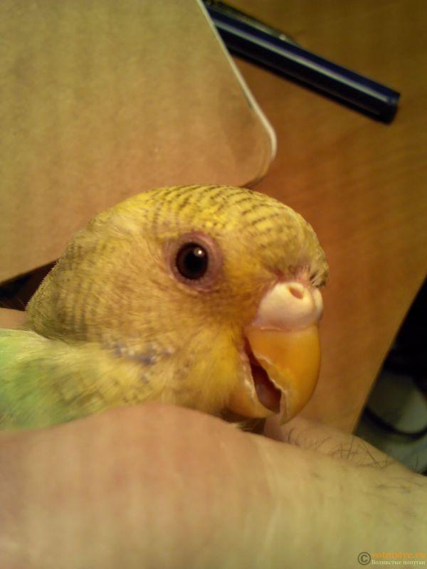 Лысина над клювом у попугая - IMG568.jpg