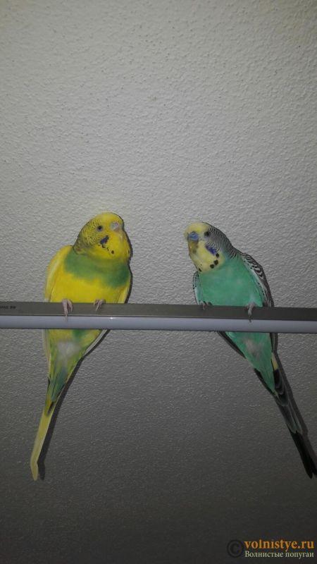 Сухая восковица и рвота у попугая - image-0-02-05-46242beed42799f3200a80c3c55f6bc246f0b6fd7f640052cb26ed8dd6950b32-V.jpg