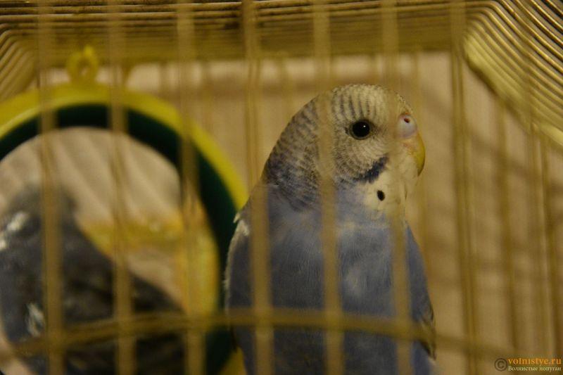Определение пола и возраста попугаев № 10 - DSC_0262.JPG