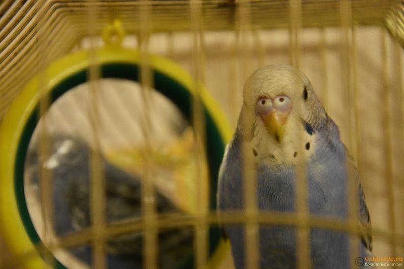 Определение пола и возраста попугаев № 10 - DSC_0263.JPG