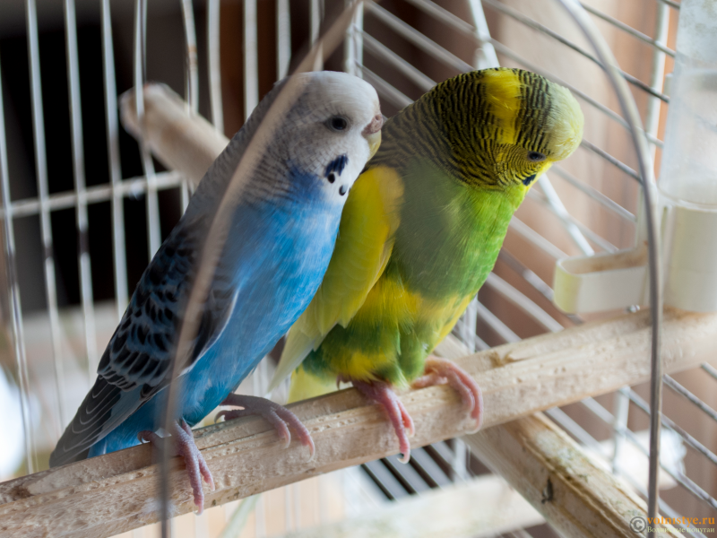 Определение пола и возраста попугаев № 10 - 1.png
