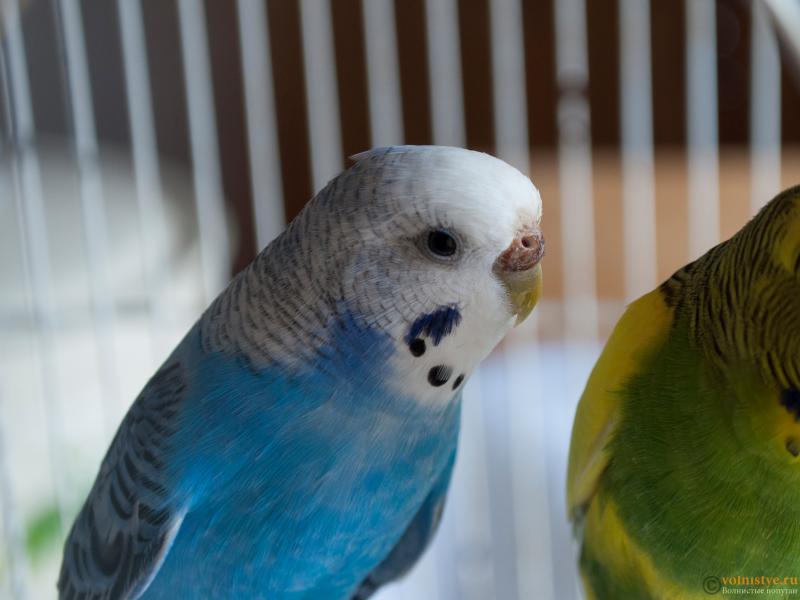 Определение пола и возраста попугаев № 10 - 3.png