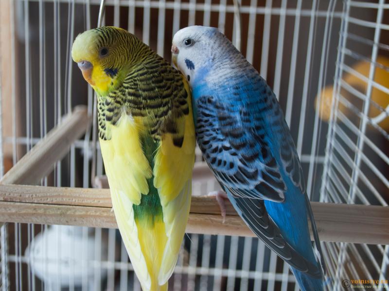 Определение пола и возраста попугаев № 10 - 4.png
