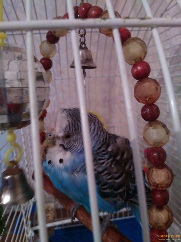 Лысая клоака у волнистого попугая - IMG_20170812_193022.jpg