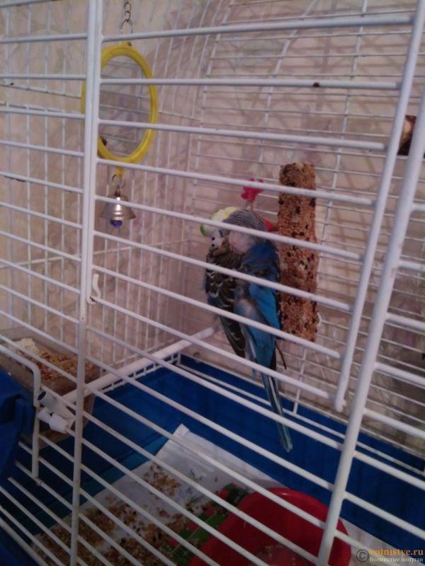 Лысая клоака у волнистого попугая - IMG_20170812_192330.jpg