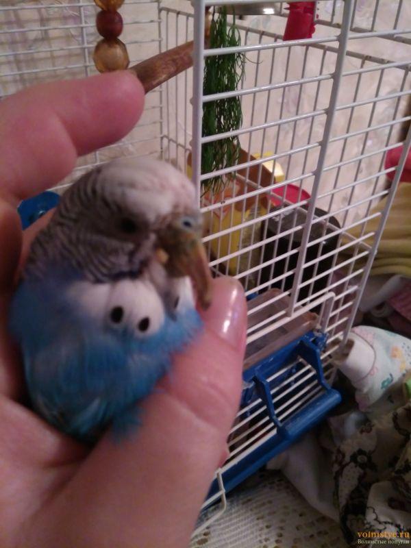 Лысая клоака у волнистого попугая - IMG_20170812_192519.jpg