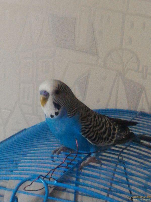Помогаем советом в приручении попугая - №2 - P_20170812_172541.jpg