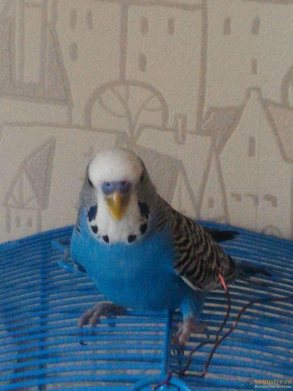 Помогаем советом в приручении попугая - №2 - P_20170812_172549.jpg