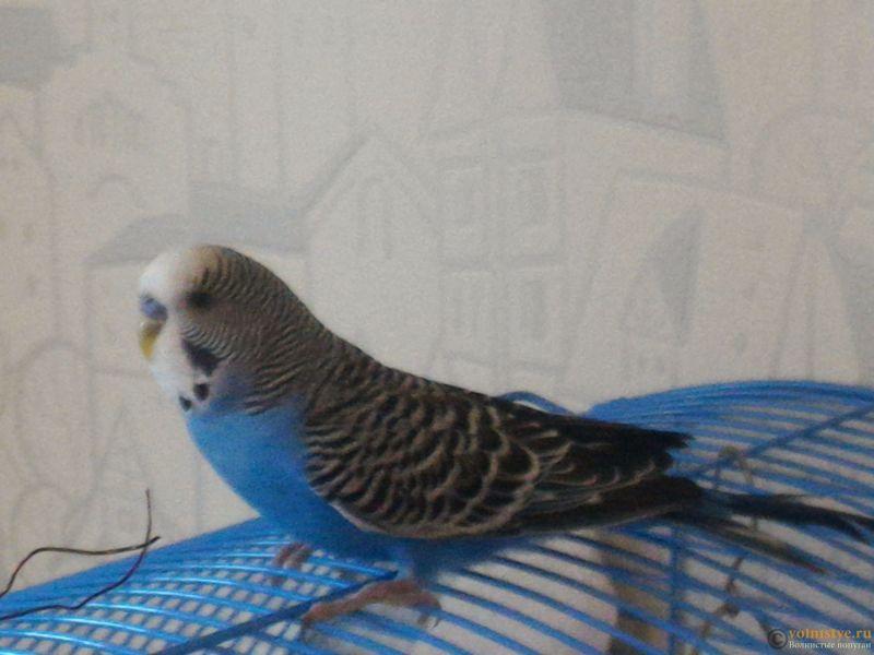 Помогаем советом в приручении попугая - №2 - P_20170812_172615.jpg
