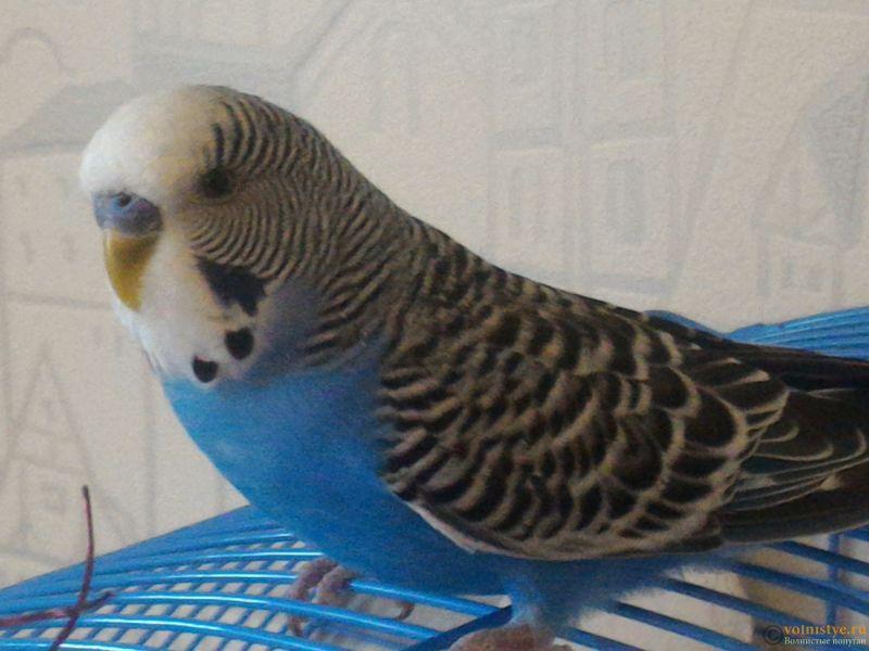 Помогаем советом в приручении попугая - №2 - P_20170812_172622.jpg