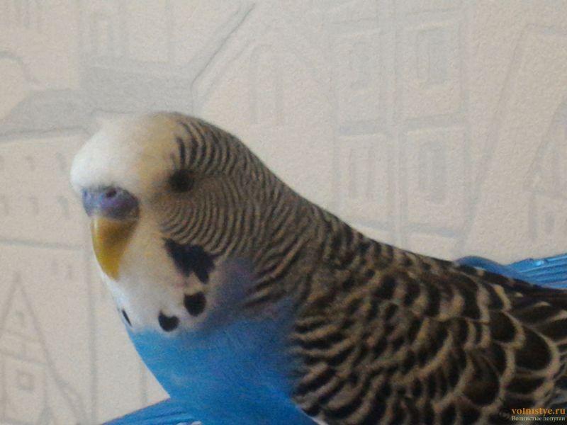 Помогаем советом в приручении попугая - №2 - P_20170812_172629.jpg