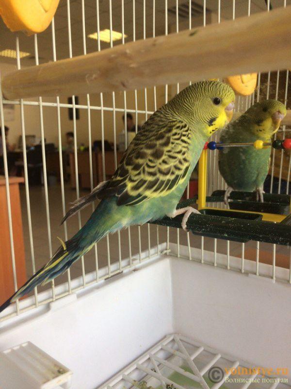 Так же вопрос по перьям попугайчика, на вид кажутся не совсем здоровыми, немного растрепанные хвостовые и длинные в левом крыле. В правом длинных перьев вообще нет. До сих пор птичка  немного трясется. - c-p6Zc8jqRs.jpg