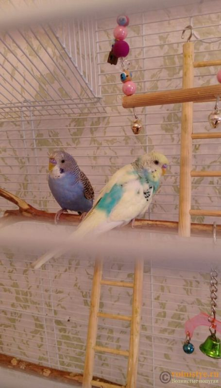 Определение пола и возраста попугаев № 10 - IMG-20170820-WA0000.jpg