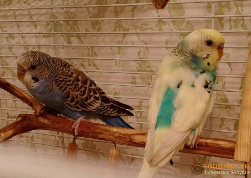 Определение пола и возраста попугаев № 10 - IMG-20170821-WA0001.jpg