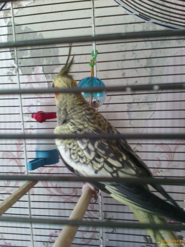 Определение пола и возраста попугаев корелла - IMG_20170822_173124.jpg