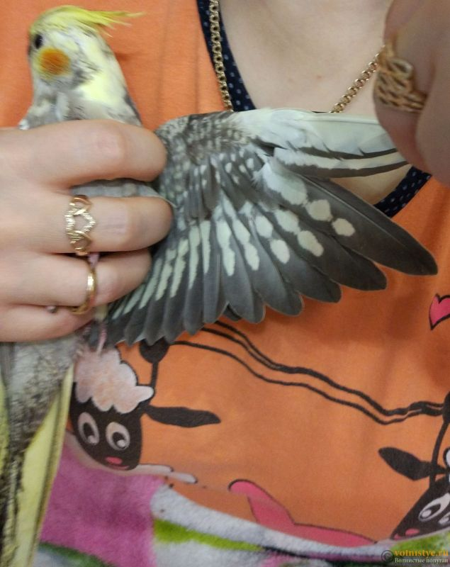 Определение пола и возраста попугаев корелла - IMG_20170916_010818.jpg