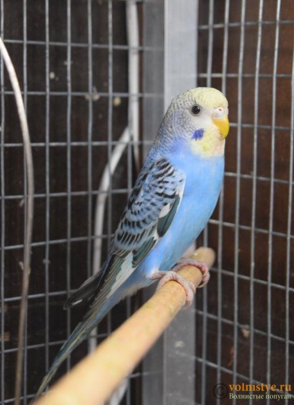 Продаю птенцов волнистого попугая (от Джека и Эльзы) - DSC_3750.JPG