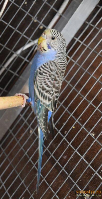 Продаю птенцов волнистого попугая (от Джека и Эльзы) - DSC_3724.JPG