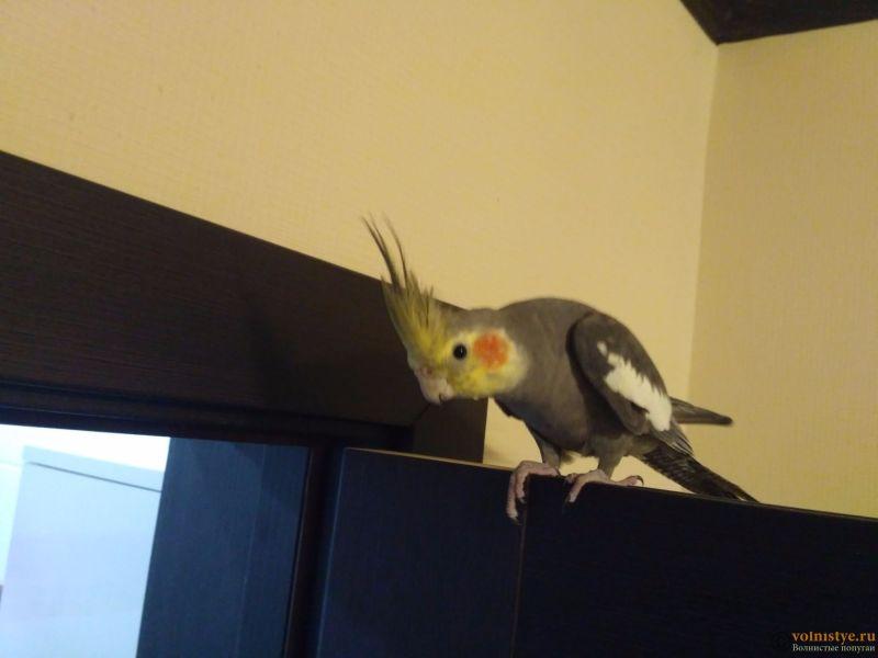 Определение пола и возраста попугаев корелла - IMG_20170812_214348.jpg