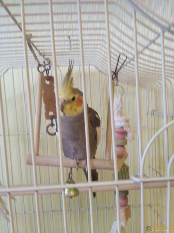 Определение пола и возраста попугаев корелла - IMG_20170825_110656.jpg