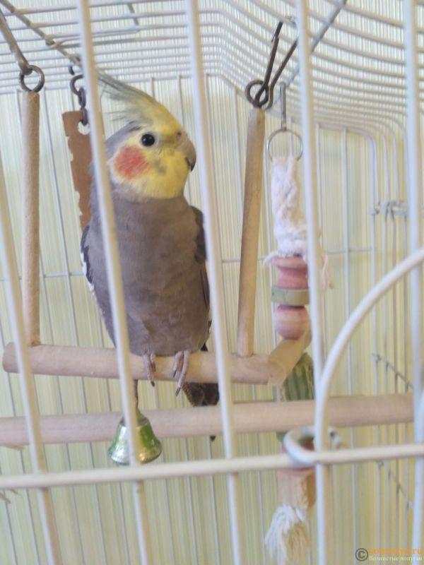 Определение пола и возраста попугаев корелла - IMG_20170825_110706.jpg