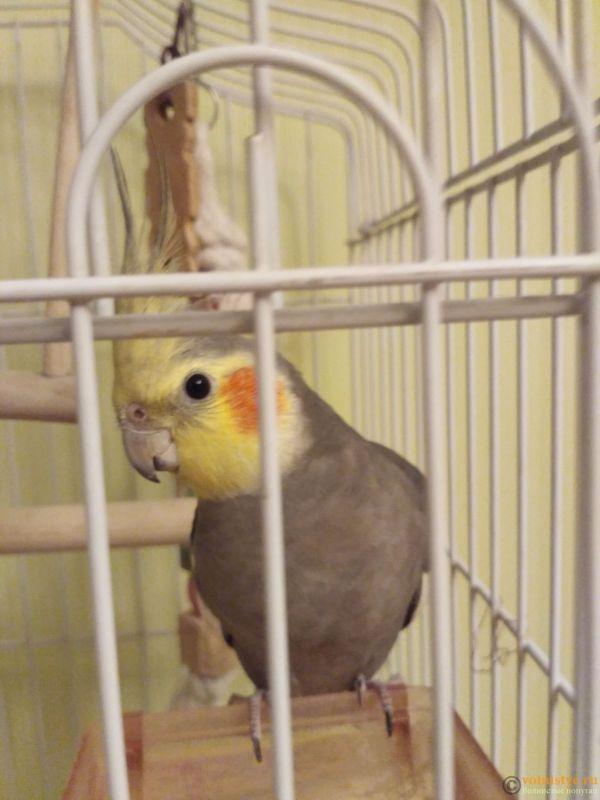 Определение пола и возраста попугаев корелла - IMG_20170923_231238.jpg