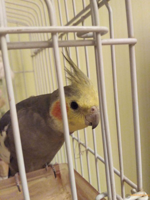 Определение пола и возраста попугаев корелла - IMG_20170923_231244.jpg