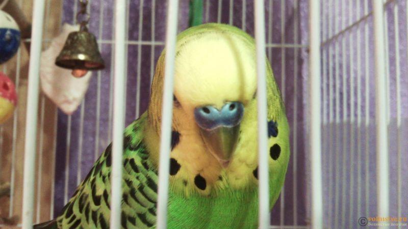 волнистый попугай не наступает на лапку и странно сидит на жердочке. - IMG_20170924_201556.jpg