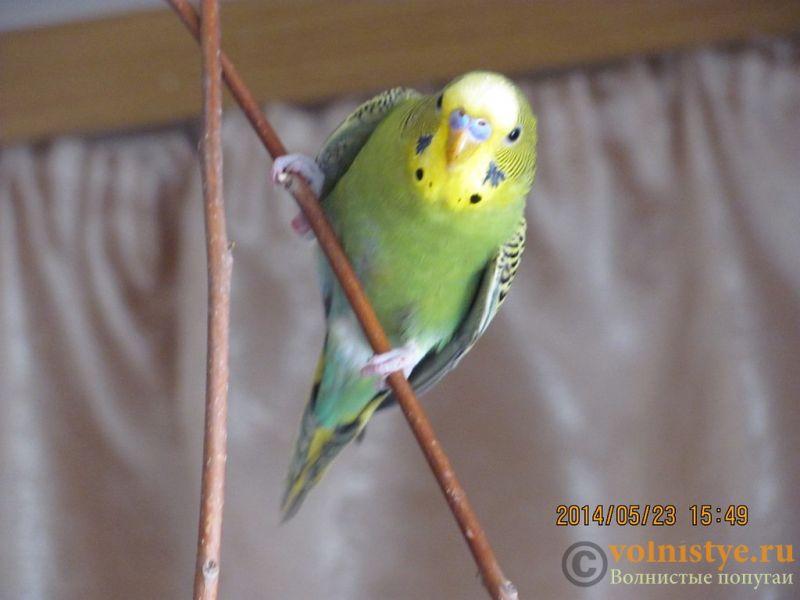 Отдам В ОТВЕТСТВЕННЫЕ РУКИ стаю волнистых попугаев.(Ростов-на-Дону) - 0_d14df_6a88961c_XXL.jpg