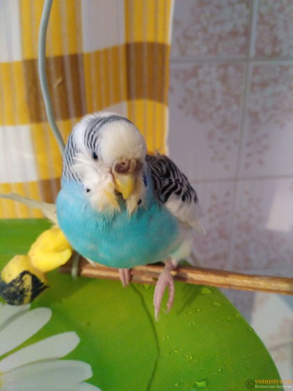 волнистый попугай не наступает на лапку и странно сидит на жердочке. - IMG_20171101_144406_1.jpg