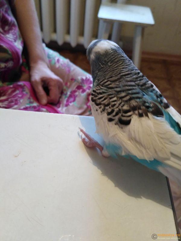 волнистый попугай не наступает на лапку и странно сидит на жердочке. - IMG_20171101_145306.jpg