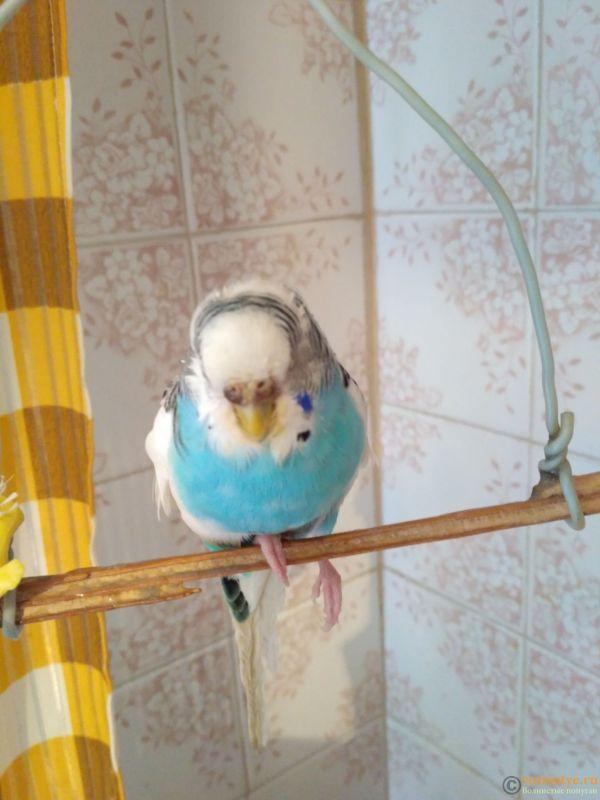 волнистый попугай не наступает на лапку и странно сидит на жердочке. - IMG_20171101_150127.jpg