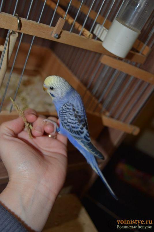 Продаю птенцов волнистого попугая (от Джека и Эльзы) - DSC_4655.JPG