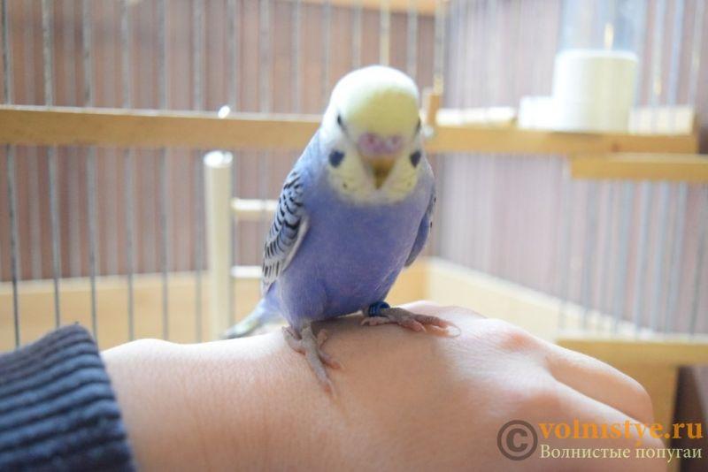 Продаю птенцов волнистого попугая (от Джека и Эльзы) - DSC_4657.JPG