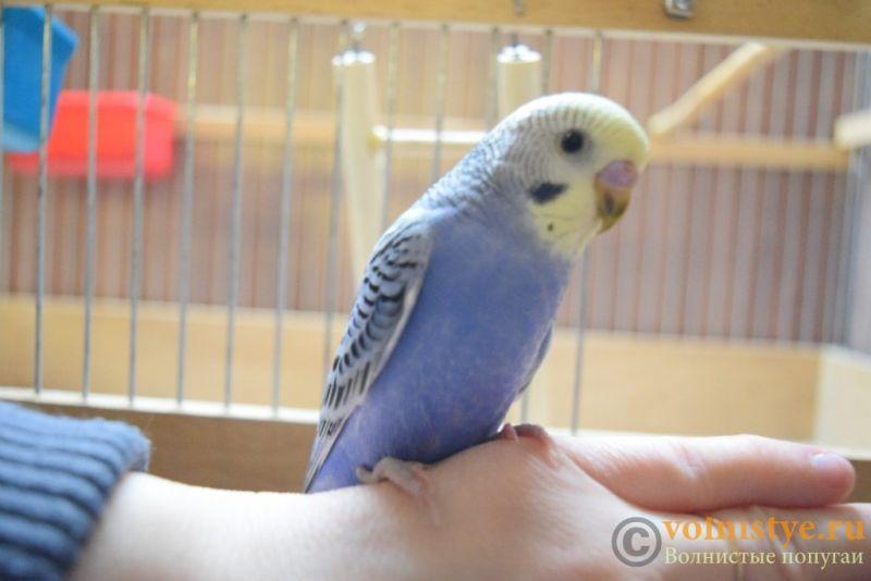 Продаю птенцов волнистого попугая (от Джека и Эльзы) - DSC_4660.JPG