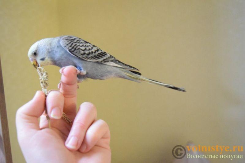 Продаю птенцов волнистого попугая (от Джека и Эльзы) - DSC_4674.JPG