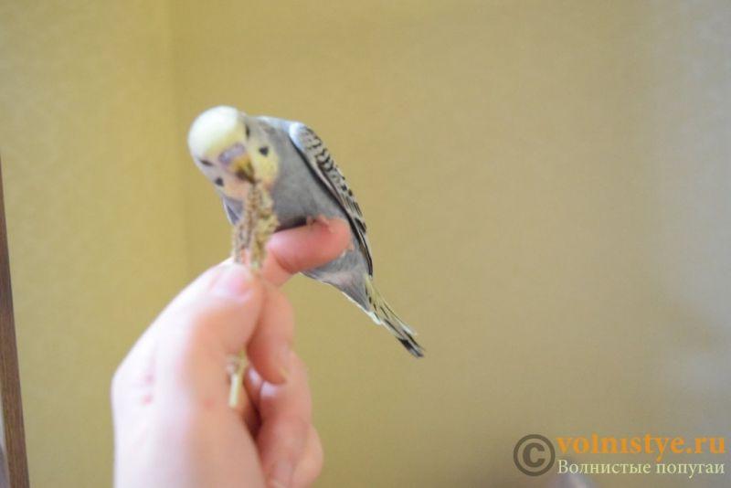 Продаю птенцов волнистого попугая (от Джека и Эльзы) - DSC_4675.JPG