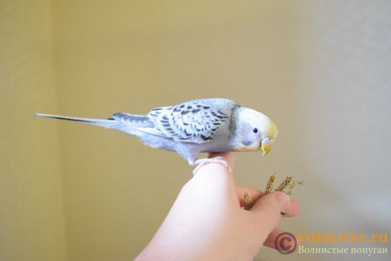 Продаю птенцов волнистого попугая (от Джека и Эльзы) - DSC_4691.JPG