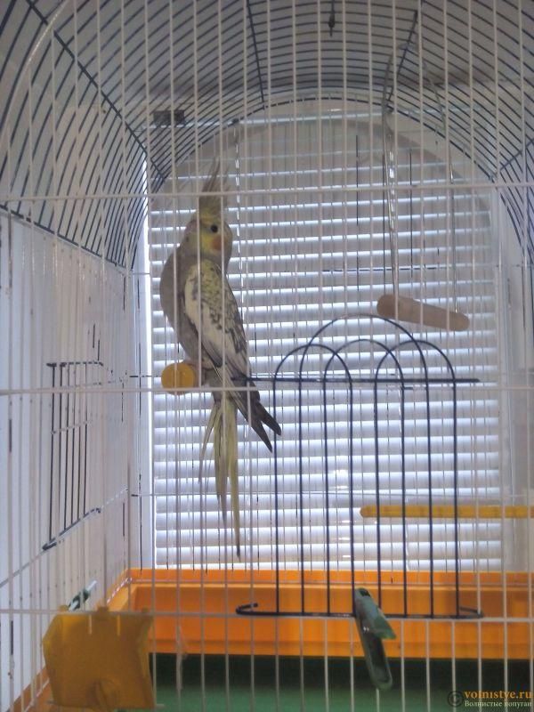 Определение пола и возраста попугаев корелла - IMG_20171031_152848.jpg