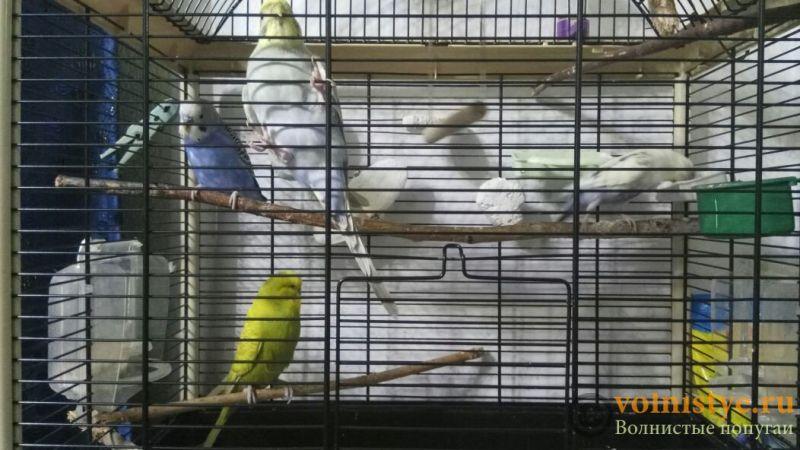 Создание пары волнистых попугаев - №2 - image (1).jpg