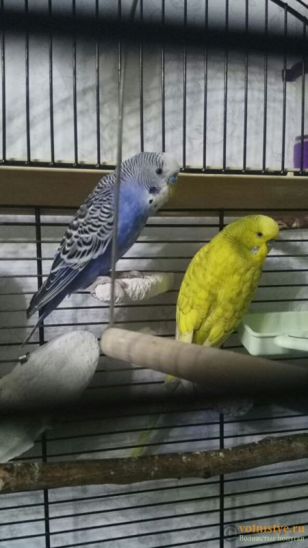 Создание пары волнистых попугаев - №2 - image (2).jpg