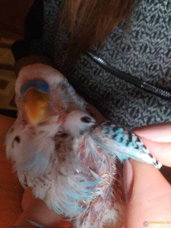 Напухла лапа у попугая. Очень часто дышит и много спит. - IMG_20171202_163010.jpg
