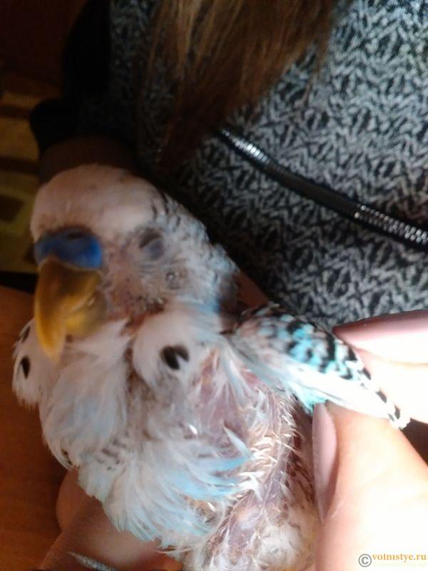Напухла лапа у попугая. Очень часто дышит и много спит. - IMG_20171202_163011.jpg