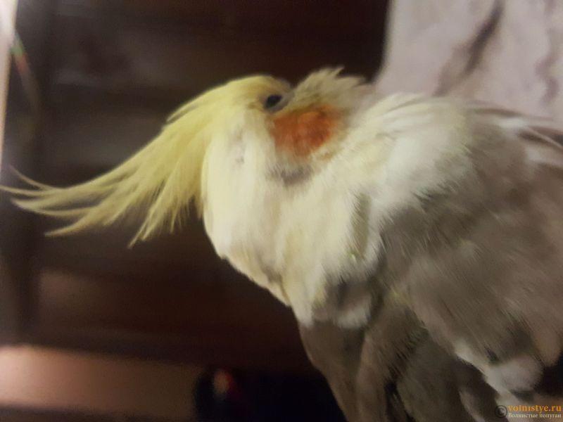 Определение пола и возраста попугаев корелла - 20171203_233927.jpg