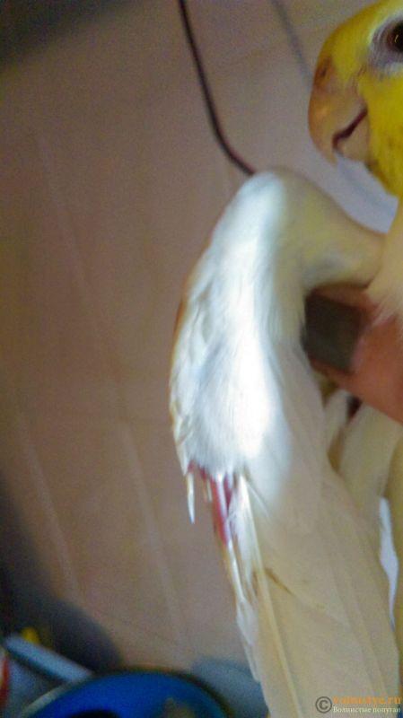 Выпадают перья в области клоаки - IMAG1694.jpg