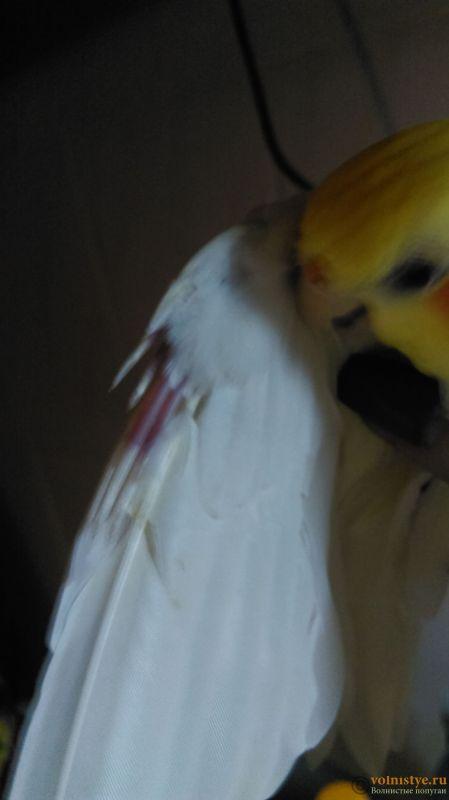 Выпадают перья в области клоаки - IMAG1693.jpg