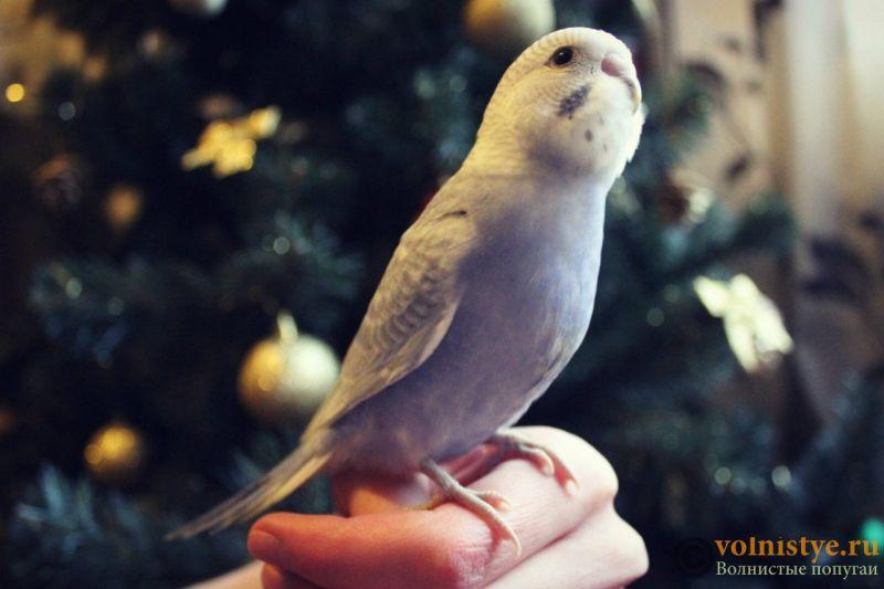 Новогодние птенчики волнистого попугая)) (Москва) - e58c2366dfed.jpg