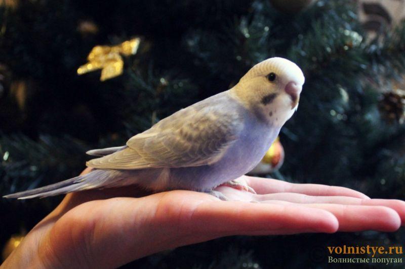 Новогодние птенчики волнистого попугая)) (Москва) - eb55aa3c33dd.jpg